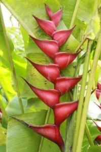Heliconia Caribaea High - Haste floral ascendente