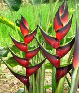 Heliconia Total Eclipse - Haste floral ascendente