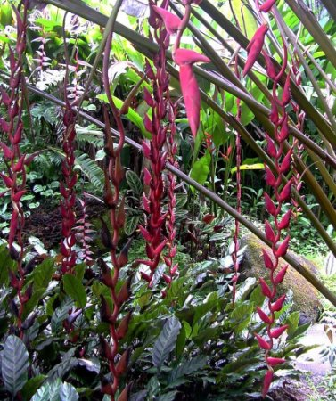 Heliconia Longa - Haste floral pendente